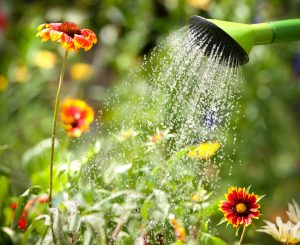Step 6 of Boulevard Blend Application: Water your Plants